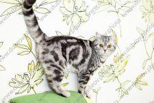 Домашняя съёмка британского короткошёрстного кота